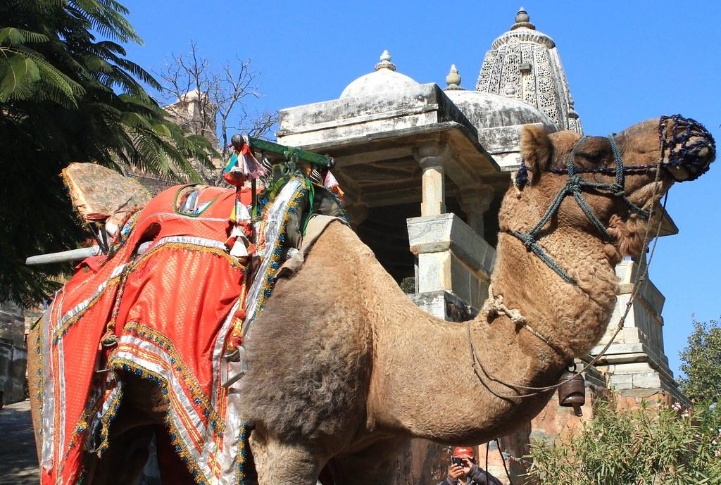 Camel - Kumbhalgarh
