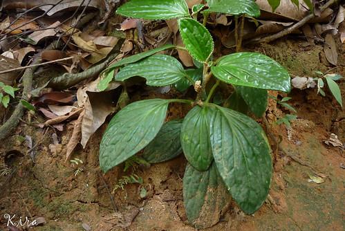 malaysia kluang pentaphragmataceae pentaphragma pentaphragmaellipticum 蝎尾五膜草