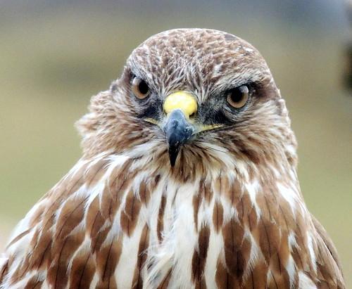 YH BUZZARD 053 THIS IS A WILD BIRD