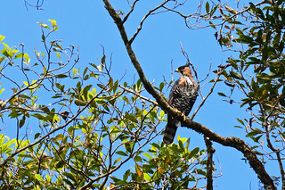Panama: Ornate Hawk-Eagle