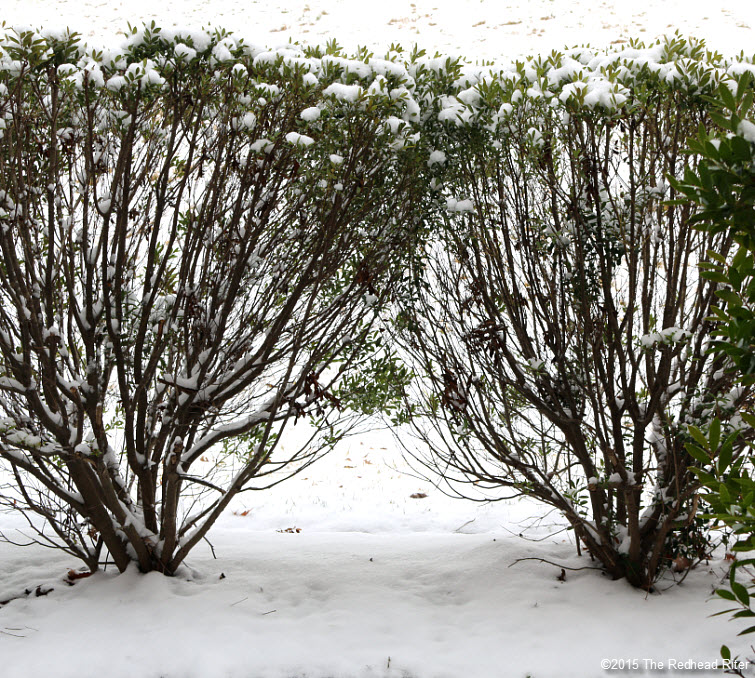Bushes And A Light Snow In Richmond, Virginia
