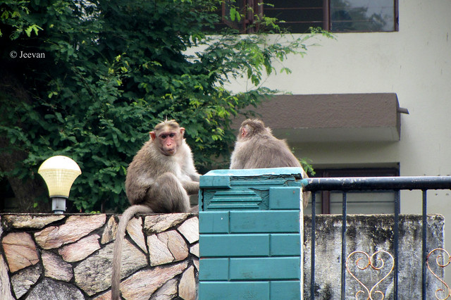 Monkeys on neighbour's terrace