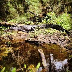 Making a new friend #gator