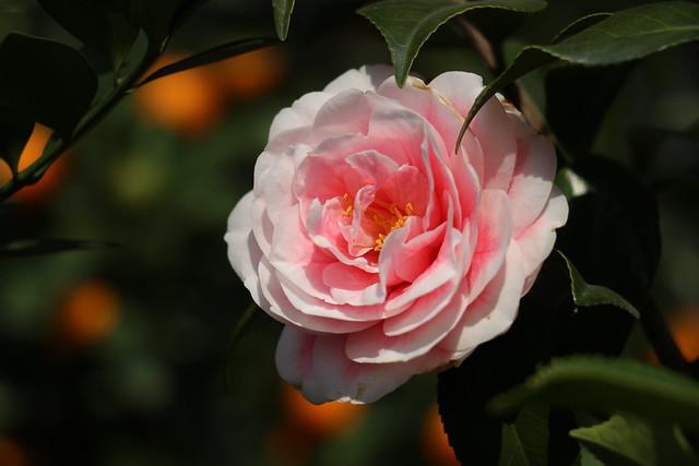 R - Camellia-u5c71u8336u82b1-IMG_1879