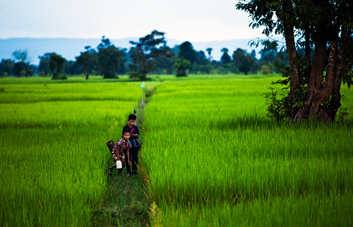 cambodia paddyfields