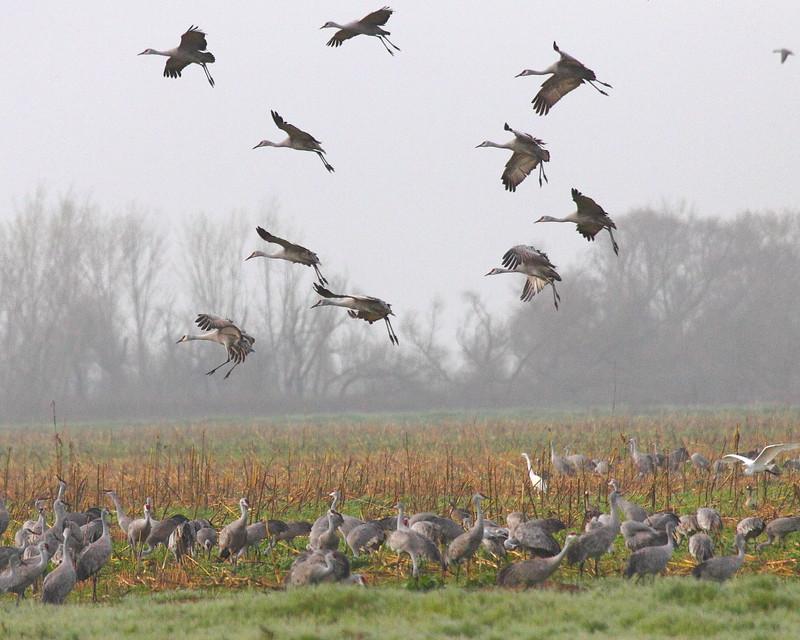 IMG_7710 Sandhill Cranes Landing
