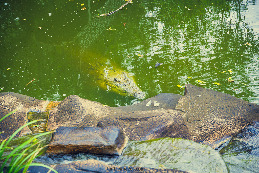 swimming crocodile in a pond in Queensland