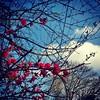 #redblossoms #Kitsilano #vancouverwinter