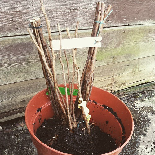 Plant nursery accidentally sent me 18 raspberry canes instead of 6. Eek! Any #Manchester #gardeners want to pick a few up this weekend let me know!   #allotmentgarden #allotment #gardening #vegetables #vegetablepatch #growing #greenfingers