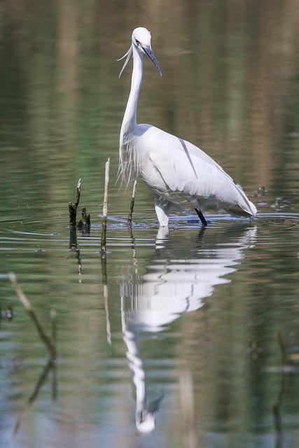 Garzetta / Egretta garzetta / Little egret