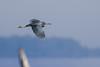 Garza Azul - Egretta caerulea - Little Blue Heron by Jorge Schlemmer