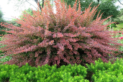 Berberis thunbergii f. atropurpurea 'Rose Glow' & Taxus hedge in the Perennial Garden, New York Botanical Garden
