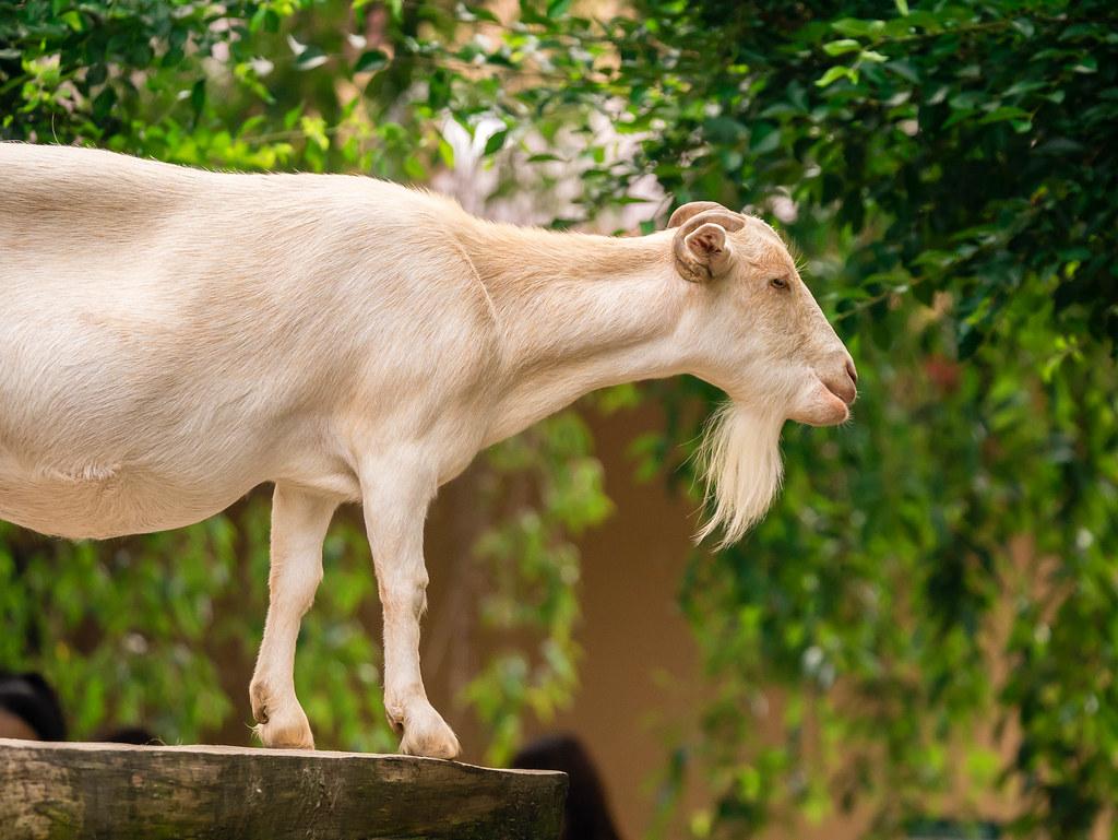 台に上るヤギ