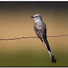 Scissortail Flycatcher by Conrad Tan