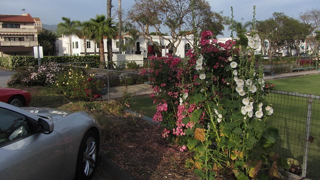 IMG_8978 Santa Barbara Lawn Bowling roses