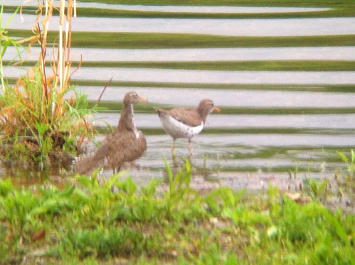 Spotted Sandpipers - Leaser Lake, Lehigh county