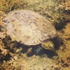 Water turtle at Seguin Outdoor Learning Center