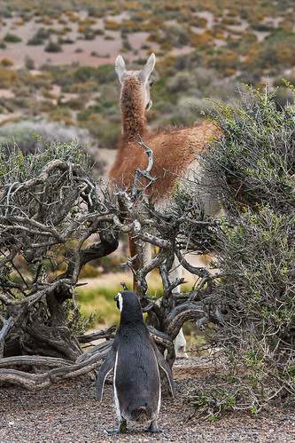 Magellanic Penguin and Guanaco by testdummy76