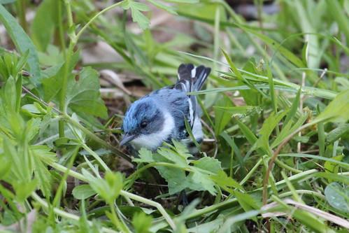 Cerulean warbler by ricmcarthur