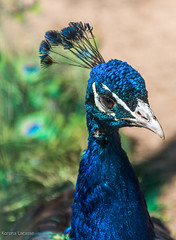 cassowary(0.0), casuariiformes(0.0), wild turkey(0.0), animal(1.0), peafowl(1.0), nature(1.0), green(1.0), fauna(1.0), close-up(1.0), blue(1.0), beak(1.0), bird(1.0), galliformes(1.0), wildlife(1.0),
