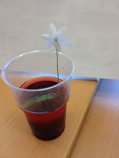 Vitsippa som suger upp rödfärgat vatten