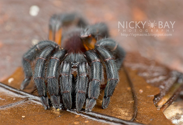 Brush-Footed Trapdoor Spider (Barychelidae) - DSC_4095