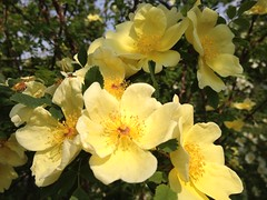 'Canary Bird' Rose Hybrid