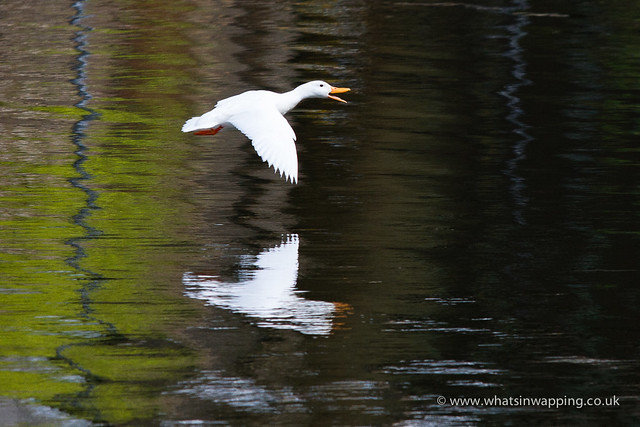 White duck flying
