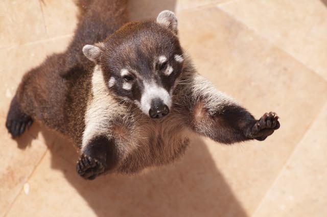 Coati - Mexican Racoon