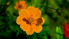 calendula(0.0), prairie(0.0), nectar(0.0), yellow(0.0), annual plant(1.0), flower(1.0), garden cosmos(1.0), sunlight(1.0), plant(1.0), nature(1.0), macro photography(1.0), herb(1.0), wildflower(1.0), flora(1.0), close-up(1.0), sulfur cosmos(1.0), plant stem(1.0), petal(1.0),