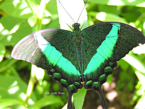 Emerald Swallowtail-se asia