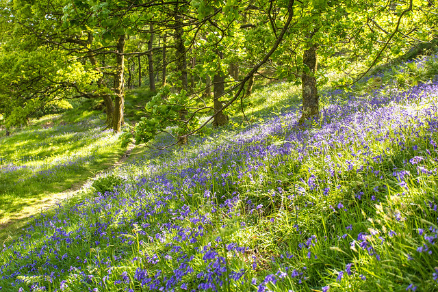 Bluebell slopes