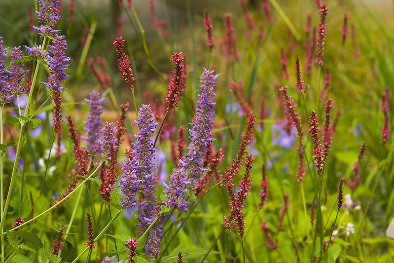 persicaria firetail and agastache blue blazes