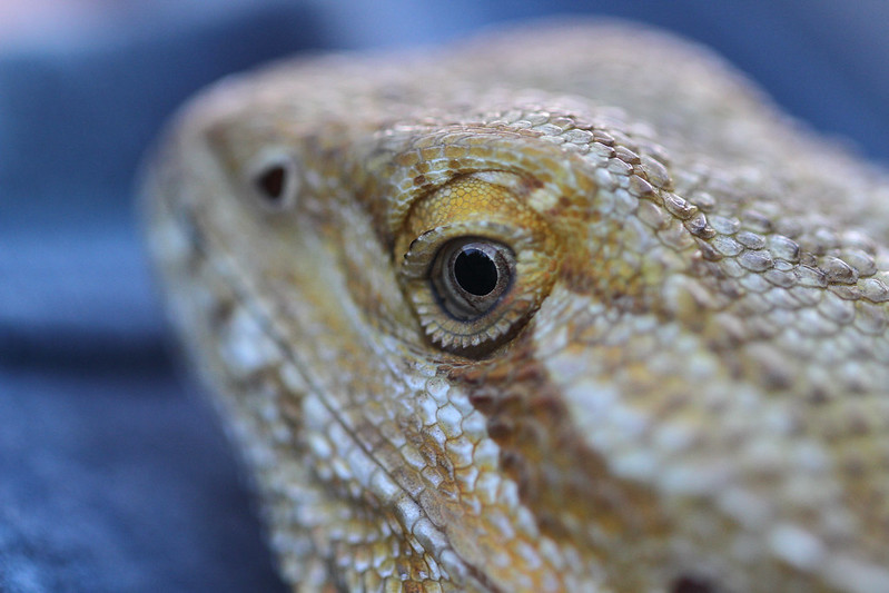 bearded dragon6