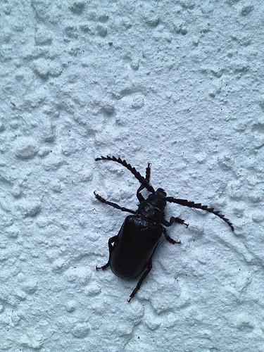 July bug