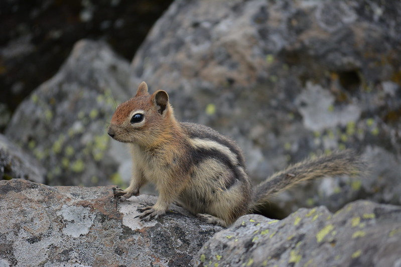 Golden-mantled Ground Squirrel by wildlifestalker