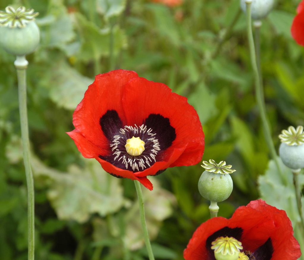 Строение цветка мака фото