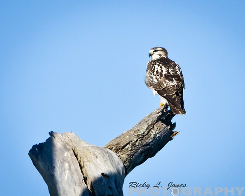 Juvenile Red Tailed Hawk by Ricky L. Jones Photography