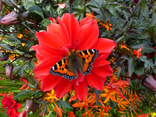 Red Dahlia and the Small Tortoiseshell by Linda Yarrow