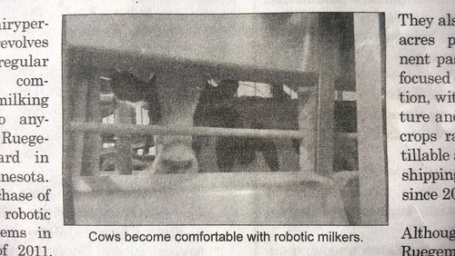 cows become comfortable with robot milkers.
