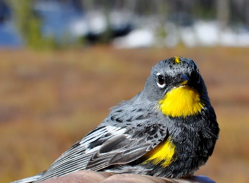 Butterbutt biology: warblers, migration and mitochondria