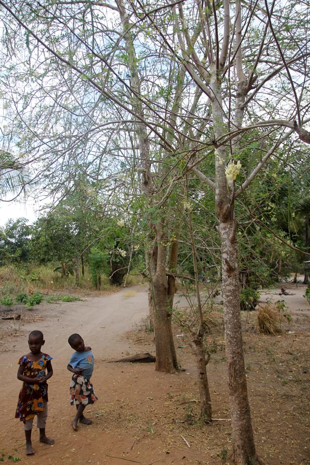 Moringa trees in Tanzania