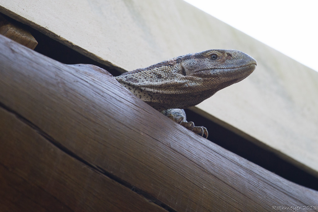 Rock Monitor (Varanus albigularis)
