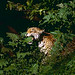 Jaguar (Panthera onca) male in