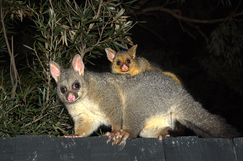 possums_mother_and_child-4