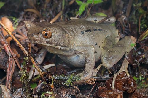 Perak Spadefoot Frog IMG_0030 copy