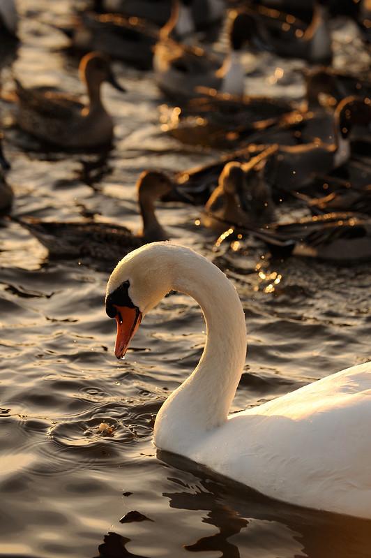 白鳥を撮る -多々良沼-