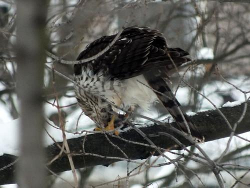 cooper's hawk eating its prey