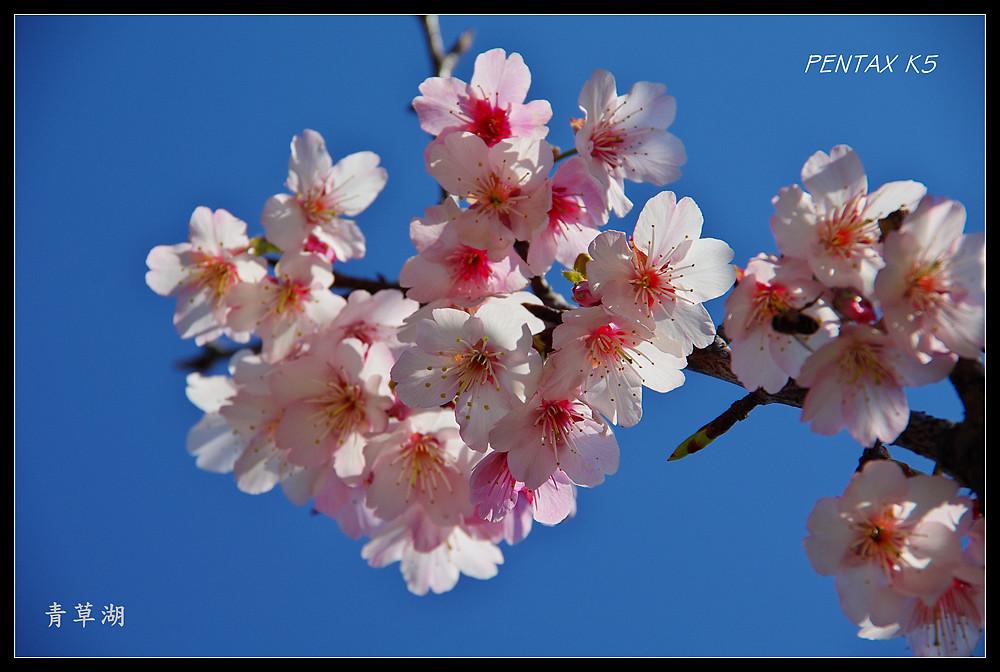 意外的櫻花邂逅--青草湖