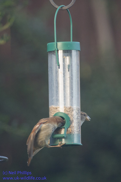 sparrows seed feeder